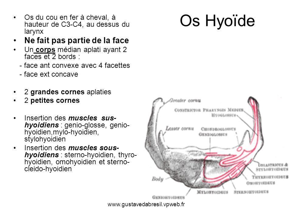 www.gustavedabresil.vpweb.fr Os Hyoïde Os du cou en fer à cheval, à hauteur de C3-C4, au dessus du larynx Ne fait pas partie de la face Un corps média