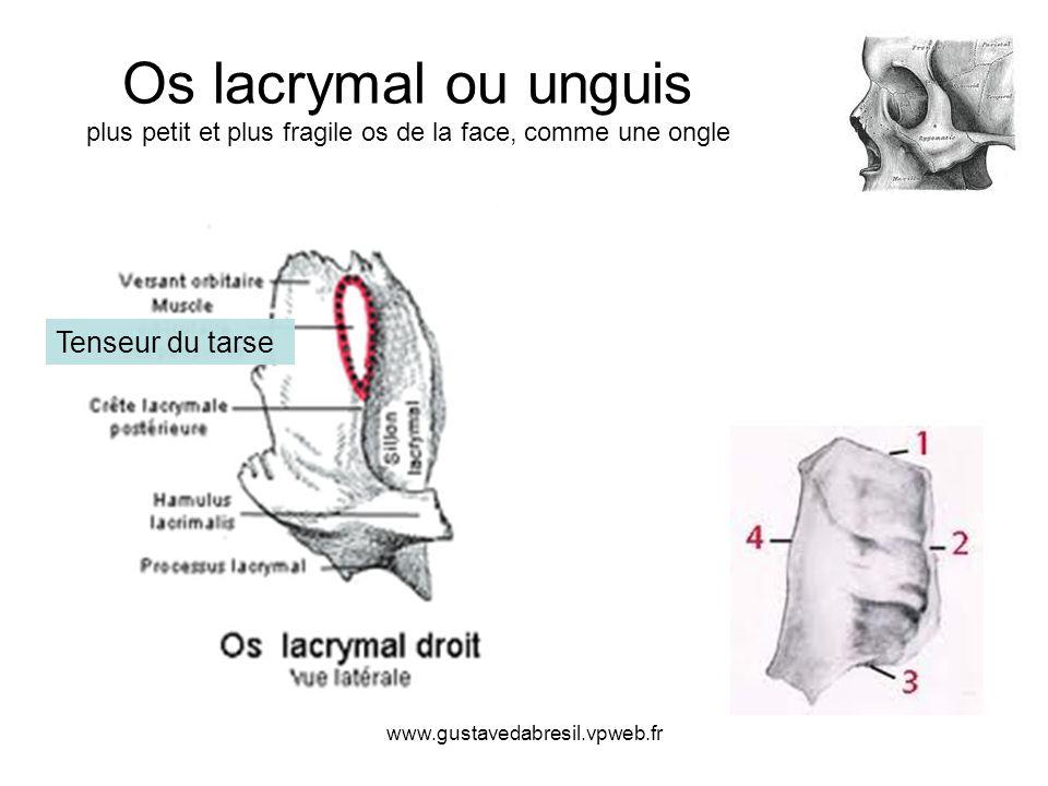 www.gustavedabresil.vpweb.fr Os lacrymal ou unguis plus petit et plus fragile os de la face, comme une ongle Tenseur du tarse