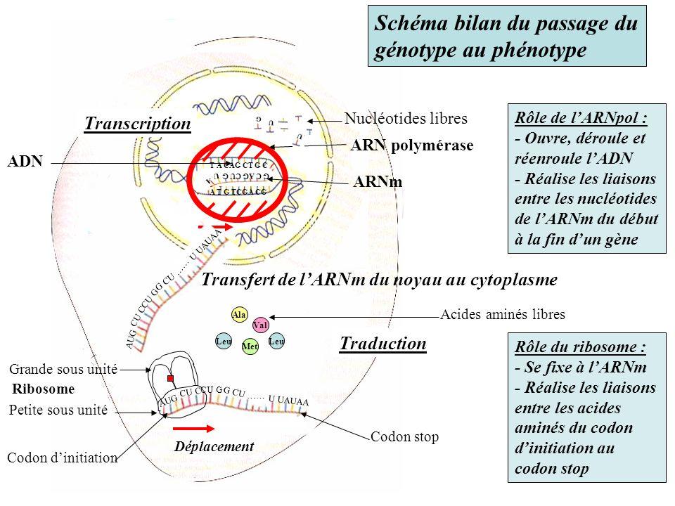 A T G TCGA CG ARN polymérase G Nucléotides libres G C AG CU G A U ARNm T A CAG CT G C Transcription Rôle de lARNpol : - Ouvre, déroule et réenroule lA