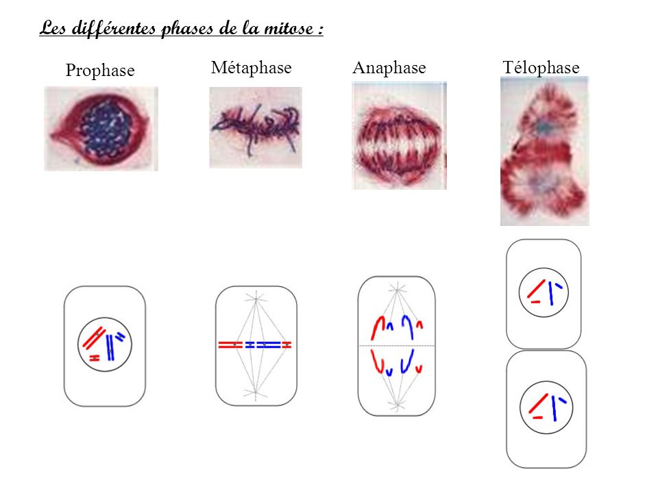 Les différentes phases de la mitose : Prophase MétaphaseAnaphaseTélophase