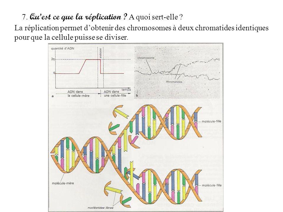 7. Quest ce que la réplication ? A quoi sert-elle ? La réplication permet dobtenir des chromosomes à deux chromatides identiques pour que la cellule p