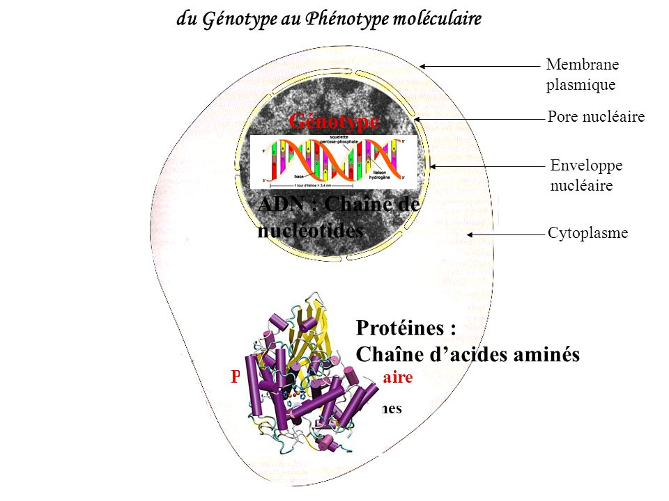 du Génotype au Phénotype moléculaire Membrane plasmique Enveloppe nucléaire Pore nucléaire Cytoplasme Chromatine Génotype Phénotype moléculaire Protéi