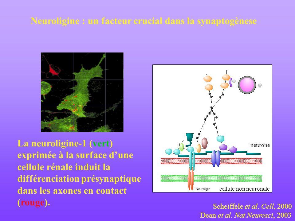 La neuroligine-1 (vert) exprimée à la surface dune cellule rénale induit la différenciation présynaptique dans les axones en contact (rouge). Neurolig