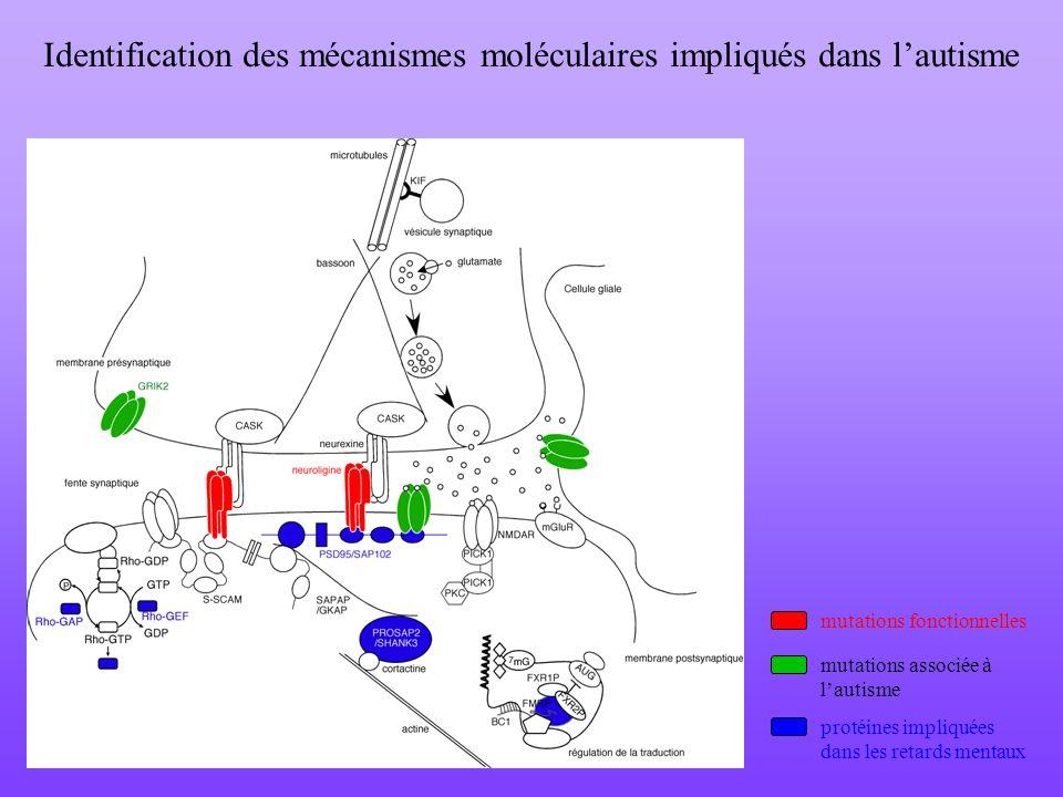 Identification des mécanismes moléculaires impliqués dans lautisme mutations fonctionnelles mutations associée à lautisme protéines impliquées dans le