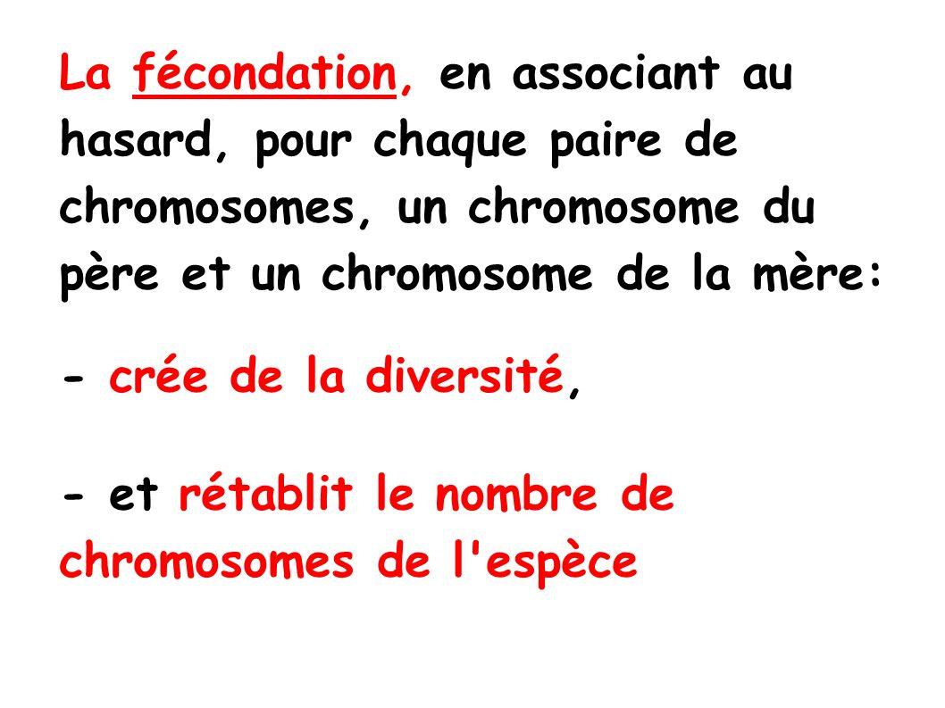 La fécondation, en associant au hasard, pour chaque paire de chromosomes, un chromosome du père et un chromosome de la mère: - crée de la diversité, - et rétablit le nombre de chromosomes de l espèce