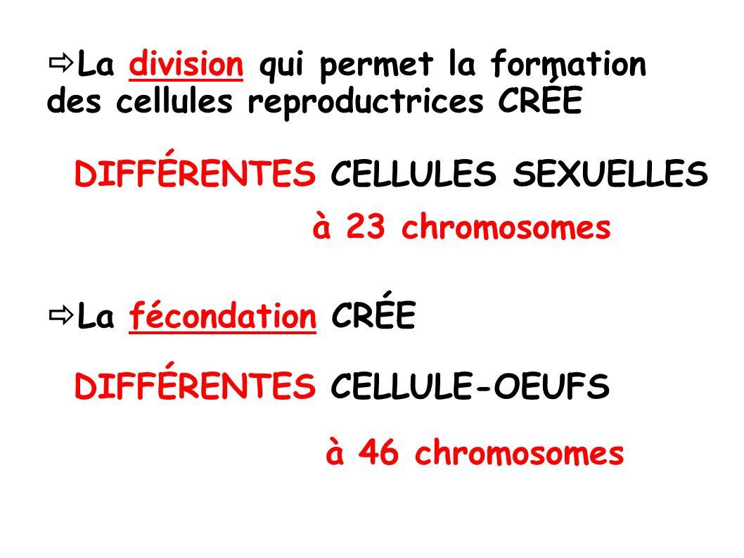 La division qui permet la formation des cellules reproductrices CRÉE DIFFÉRENTES CELLULES SEXUELLES à 23 chromosomes La fécondation CRÉE DIFFÉRENTES CELLULE-OEUFS à 46 chromosomes