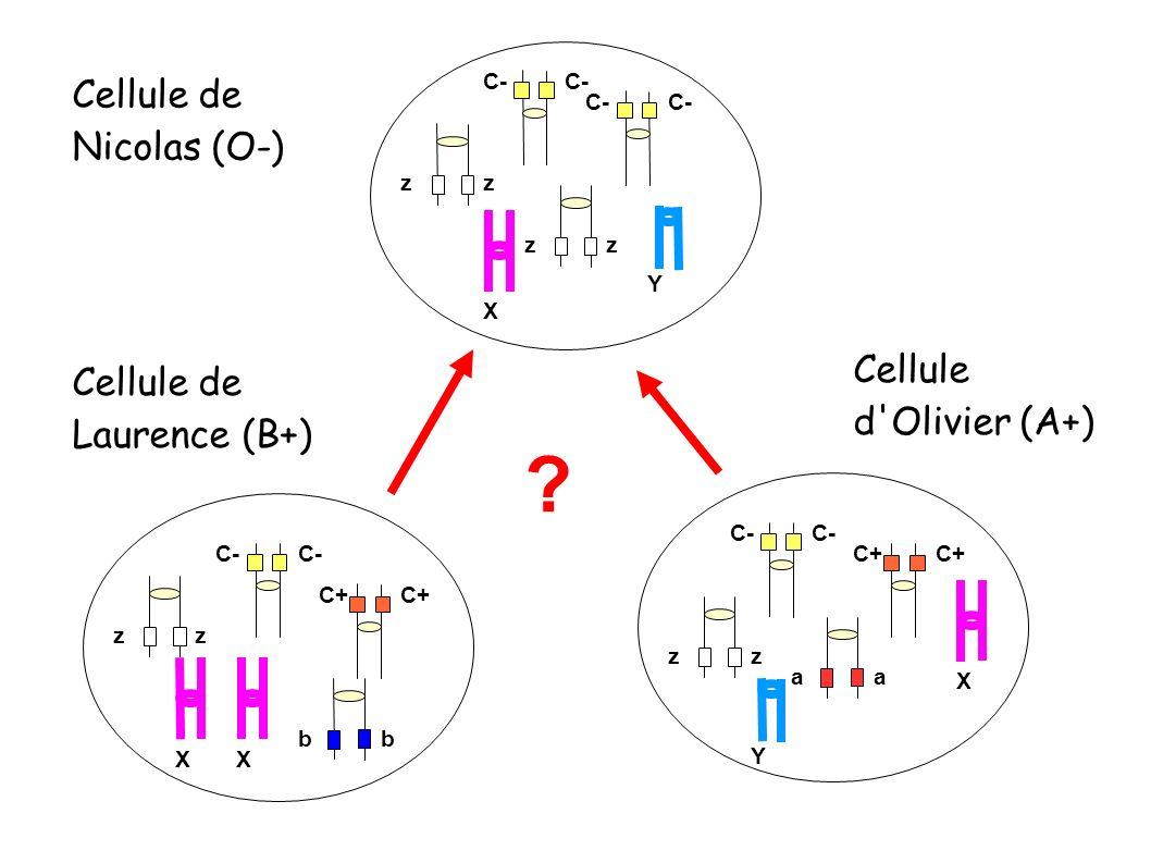 Cellule de Laurence (B+) Cellule d Olivier (A+) C- C+ zzzz aa bb X Y XX Cellule de Nicolas (O-) C- zz zz Y X