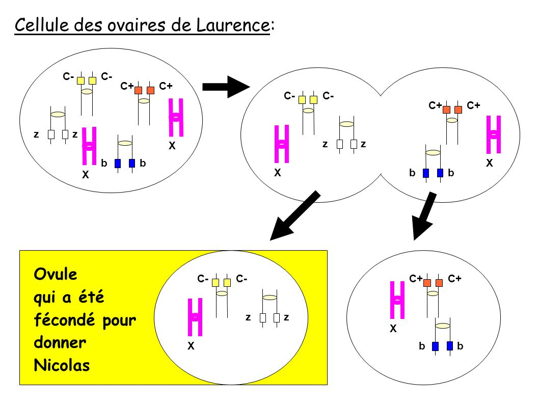 Ovule qui a été fécondé pour donner Nicolas Cellule des ovaires de Laurence: C- C+ zz X C- C+ zz XX X C- zz X bbbb C+ X bb
