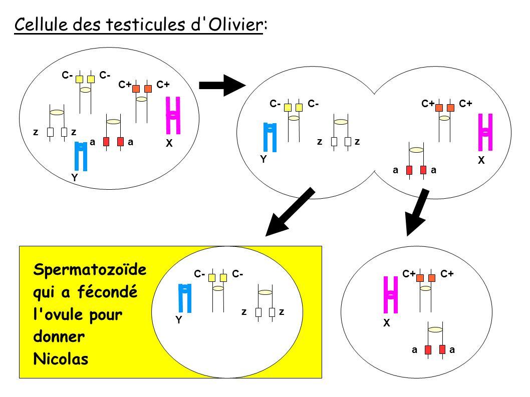 Spermatozoïde qui a fécondé l ovule pour donner Nicolas Cellule des testicules d Olivier: C- C+ zz aa X Y C- C+ zz X Y C- zz Y aa C+ X aa