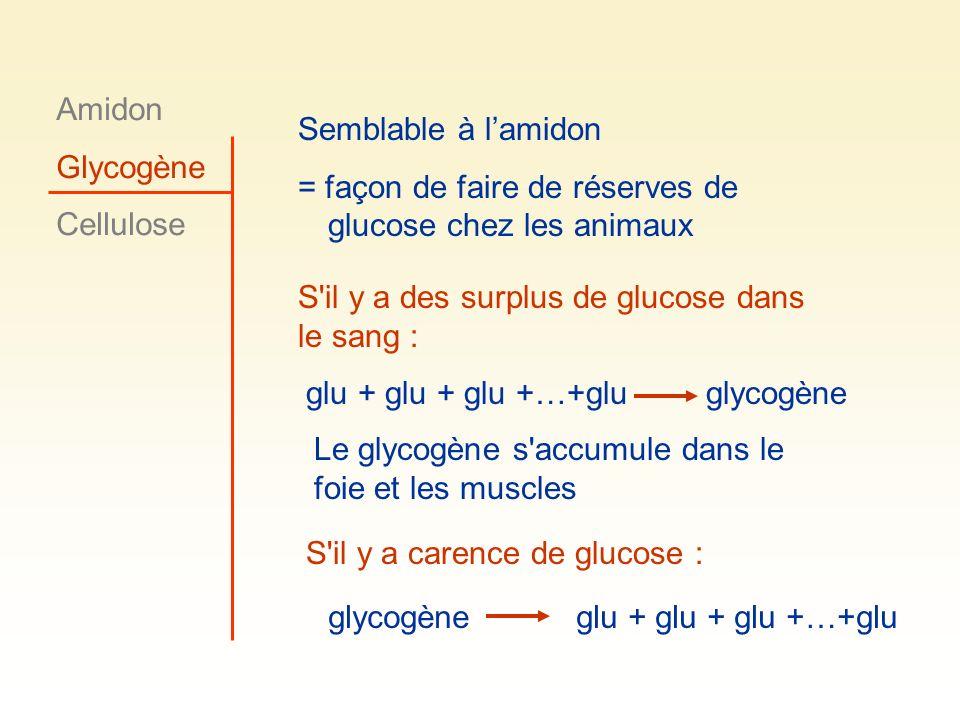 Amidon Glycogène Cellulose Semblable à lamidon = façon de faire de réserves de glucose chez les animaux S'il y a carence de glucose : glycogèneglu + g