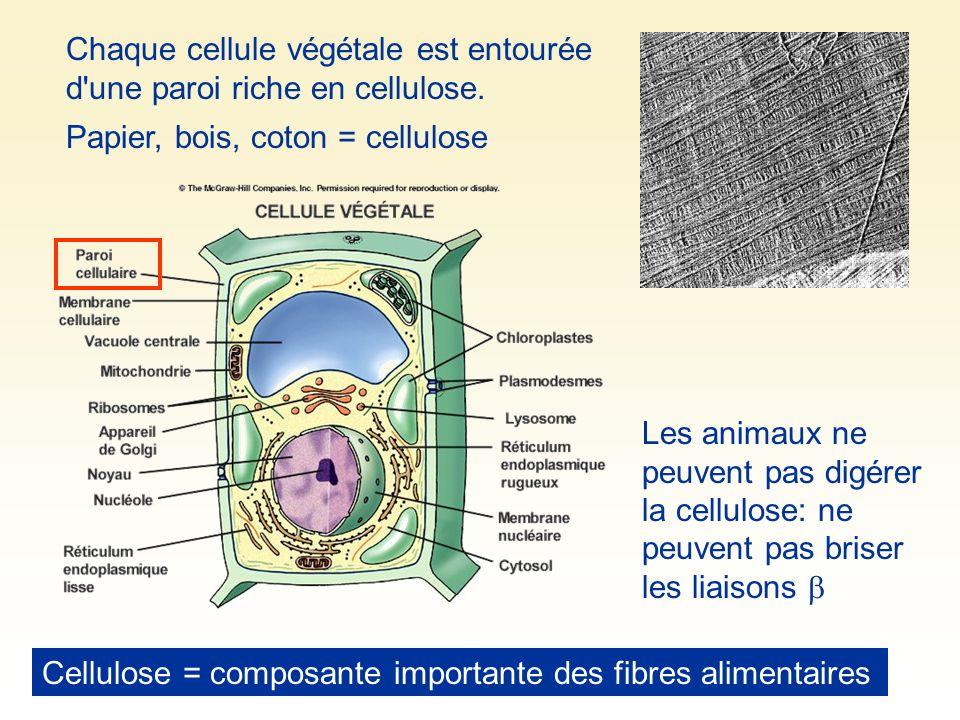 Papier, bois, coton = cellulose Chaque cellule végétale est entourée d'une paroi riche en cellulose. Les animaux ne peuvent pas digérer la cellulose: