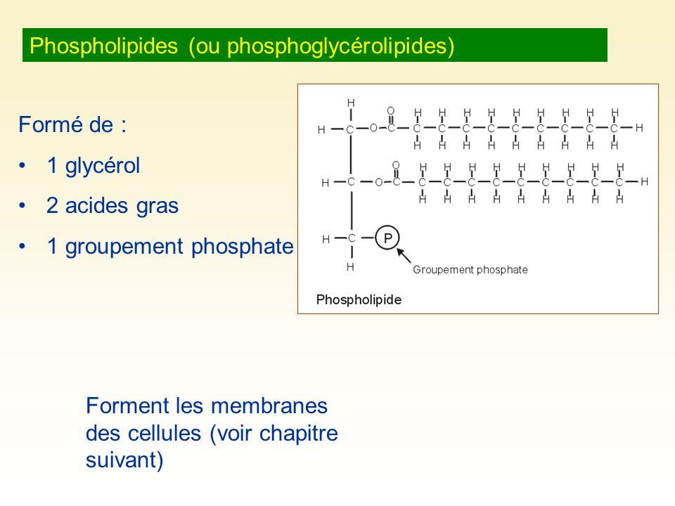 Phospholipides (ou phosphoglycérolipides) Formé de : 1 glycérol 2 acides gras 1 groupement phosphate Forment les membranes des cellules (voir chapitre