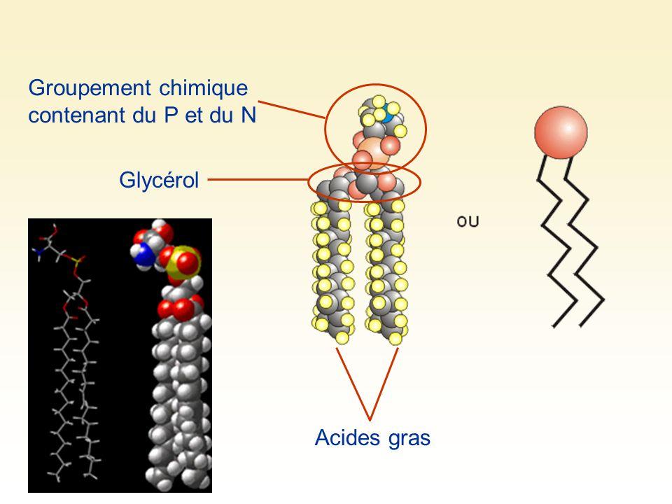 Groupement chimique contenant du P et du N Glycérol Acides gras