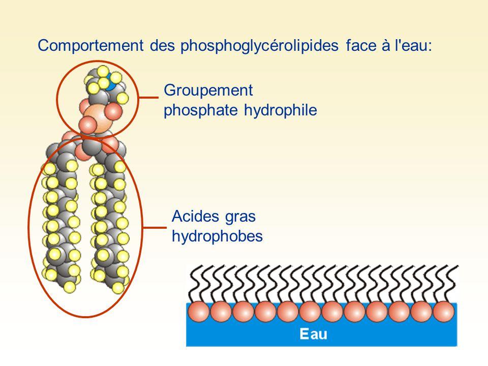 Comportement des phosphoglycérolipides face à l'eau: Groupement phosphate hydrophile Acides gras hydrophobes