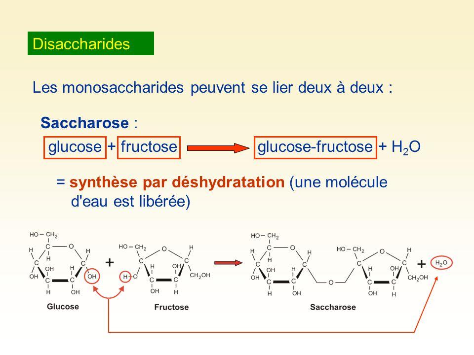 Disaccharides Les monosaccharides peuvent se lier deux à deux : Saccharose : glucose + fructoseglucose-fructose + H 2 O = synthèse par déshydratation