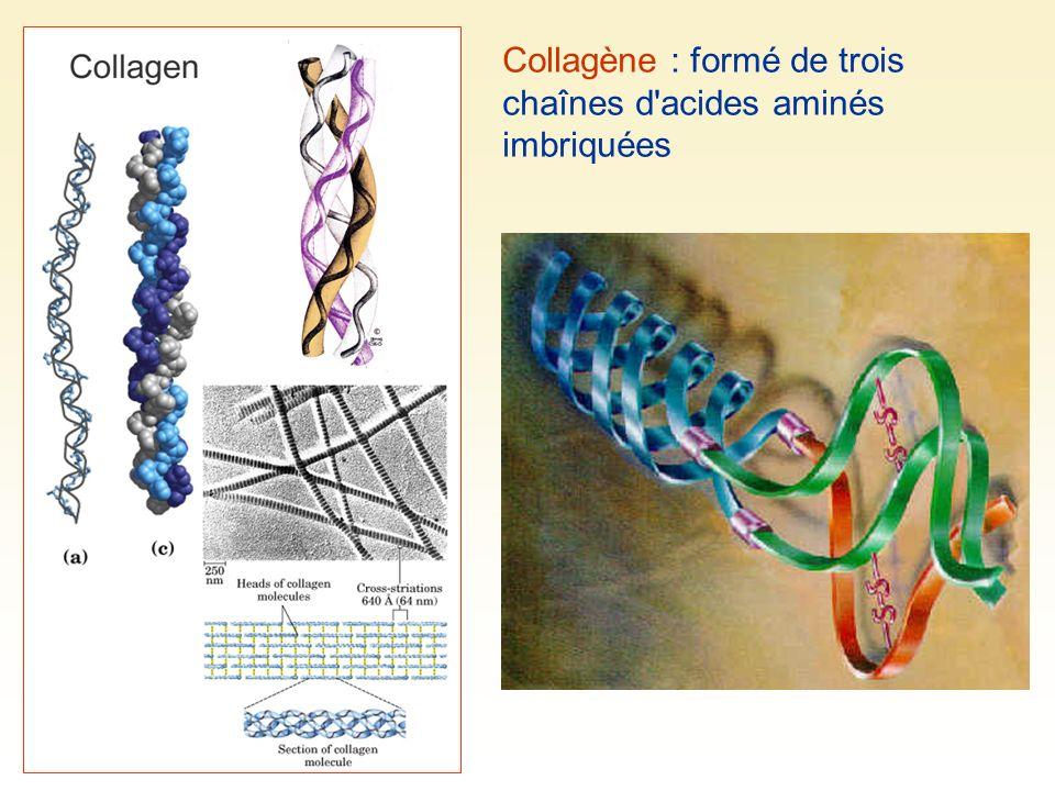 Collagène : formé de trois chaînes d'acides aminés imbriquées