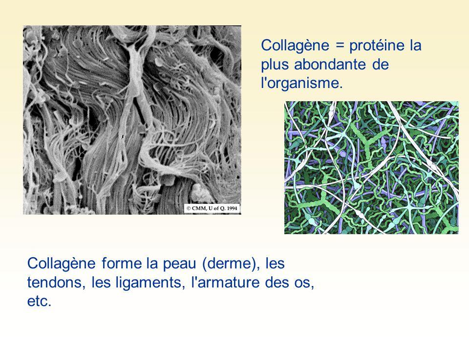 Collagène forme la peau (derme), les tendons, les ligaments, l'armature des os, etc. Collagène = protéine la plus abondante de l'organisme.