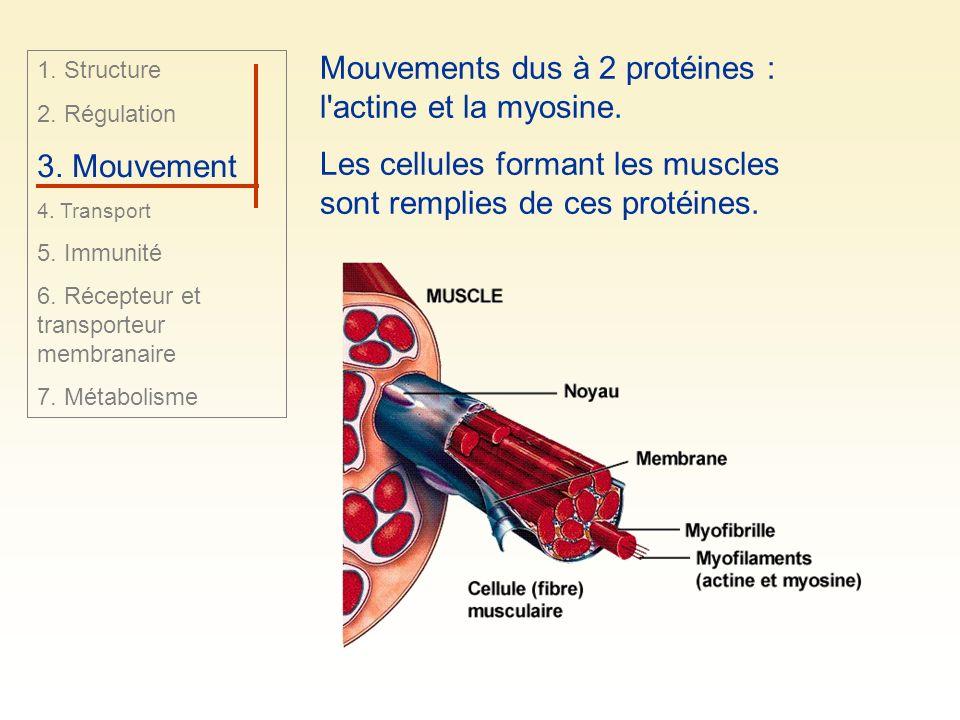 Mouvements dus à 2 protéines : l'actine et la myosine. Les cellules formant les muscles sont remplies de ces protéines. 1. Structure 2. Régulation 3.