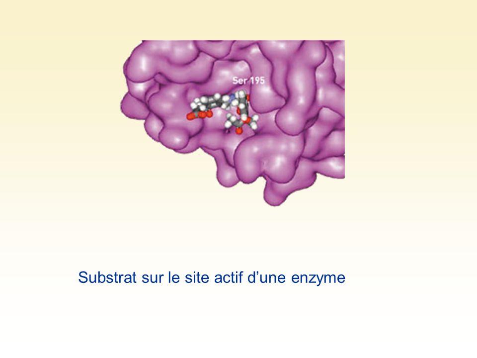 Substrat sur le site actif dune enzyme