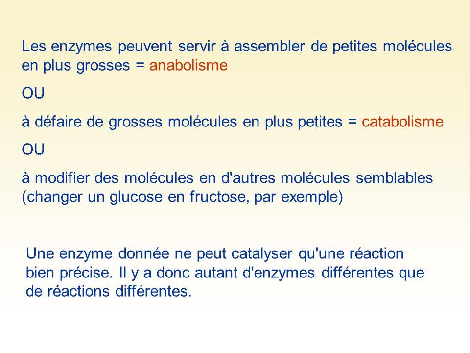Les enzymes peuvent servir à assembler de petites molécules en plus grosses = anabolisme OU à défaire de grosses molécules en plus petites = catabolis