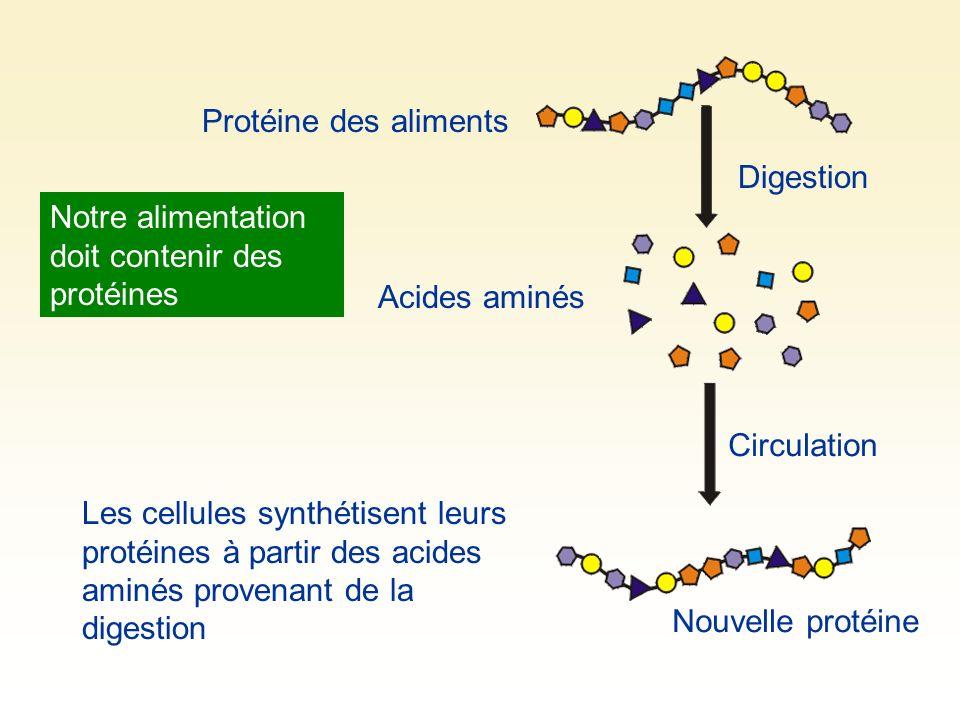 Protéine des aliments Digestion Acides aminés Circulation Les cellules synthétisent leurs protéines à partir des acides aminés provenant de la digesti