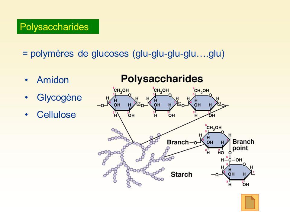 Polysaccharides = polymères de glucoses (glu-glu-glu-glu….glu) Amidon Glycogène Cellulose