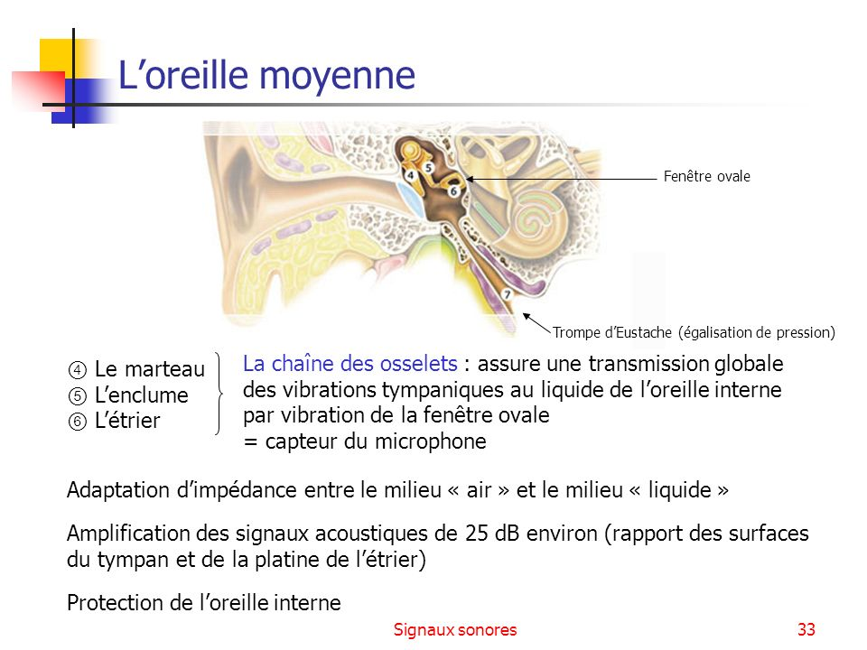 Signaux sonores33 Le marteau Lenclume Létrier Adaptation dimpédance entre le milieu « air » et le milieu « liquide » Amplification des signaux acousti