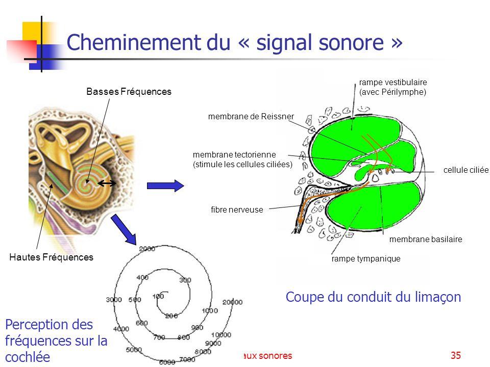 Signaux sonores35 rampe tympanique membrane basilaire rampe vestibulaire (avec Périlymphe) fibre nerveuse membrane de Reissner membrane tectorienne (s