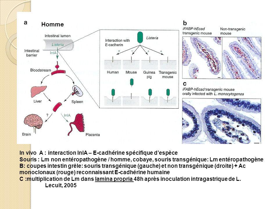 In vivo A : interaction InlA – E-cadhérine spécifique despèce Souris : Lm non entéropathogène / homme, cobaye, souris transgénique: Lm entéropathogène