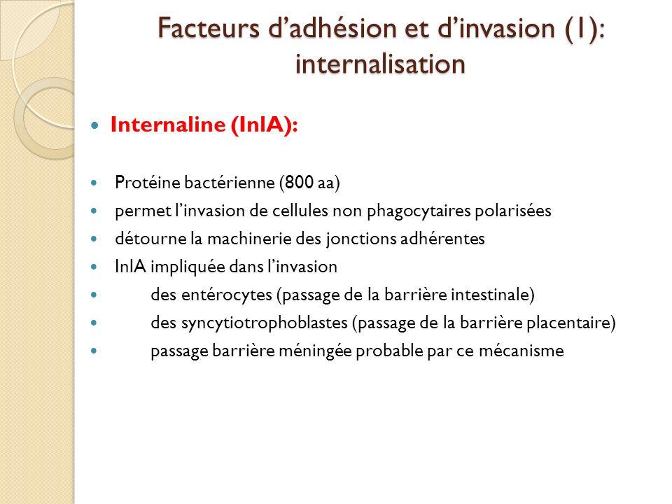 Facteurs dadhésion et dinvasion (1): internalisation Internaline (InlA): Protéine bactérienne (800 aa) permet linvasion de cellules non phagocytaires