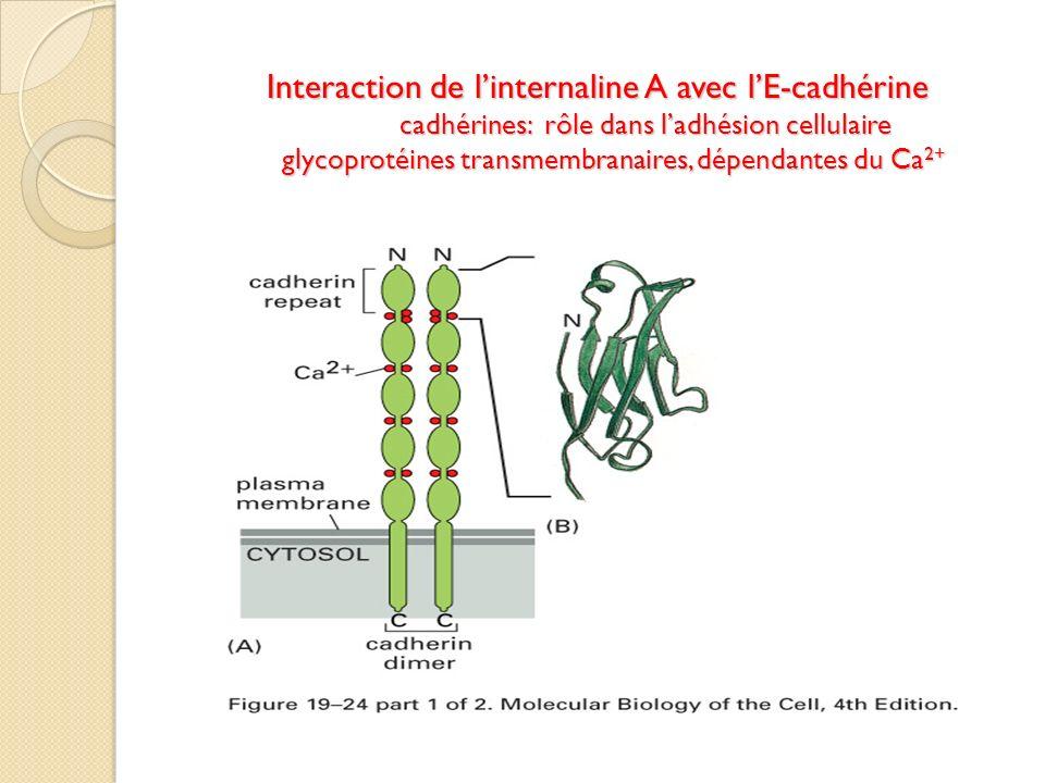 Interaction de linternaline A avec lE-cadhérine cadhérines: rôle dans ladhésion cellulaire glycoprotéines transmembranaires, dépendantes du Ca 2+