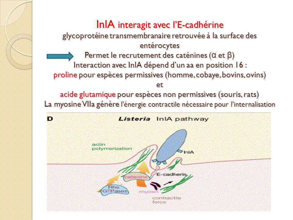 InlA interagit avec lE-cadhérine glycoprotéine transmembranaire retrouvée à la surface des entérocytes Permet le recrutement des caténines ( α et β )