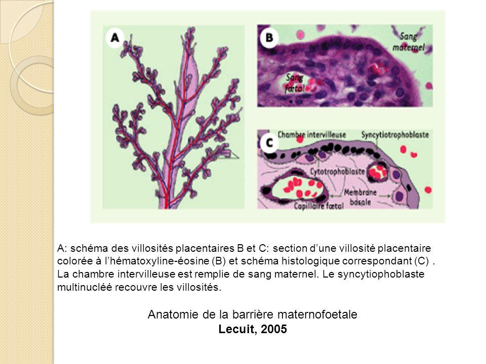Anatomie de la barrière maternofoetale Lecuit, 2005 A: schéma des villosités placentaires B et C: section dune villosité placentaire colorée à lhémato