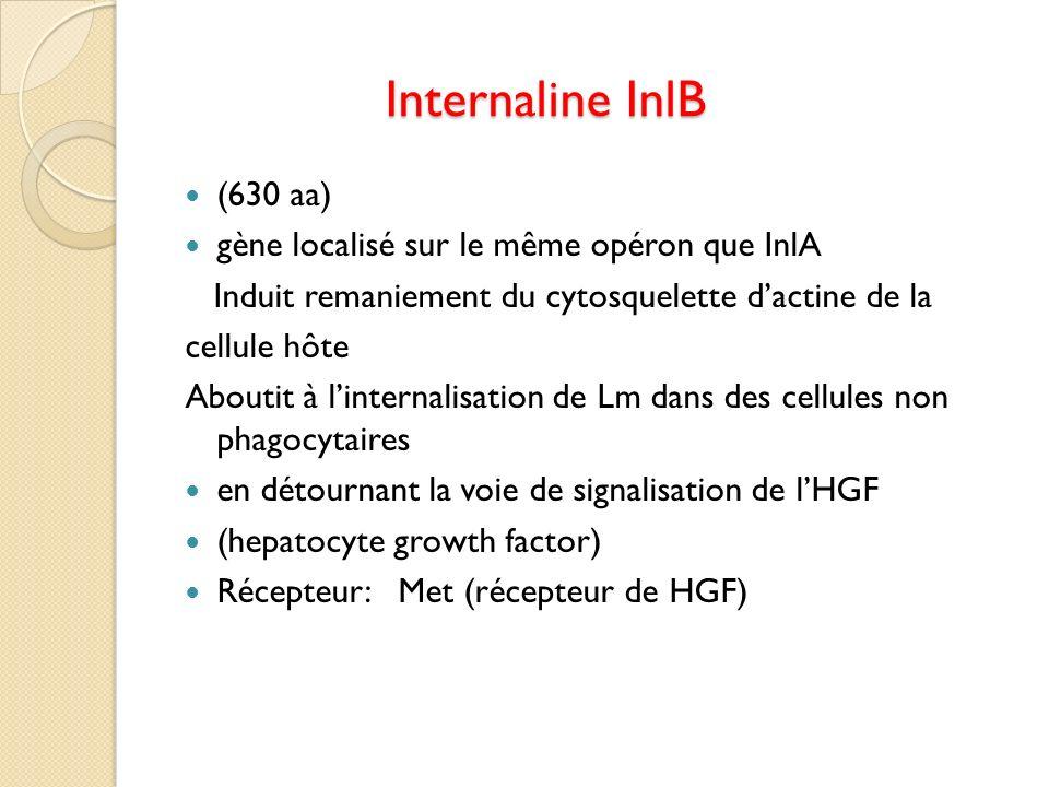 Internaline InlB (630 aa) gène localisé sur le même opéron que InlA Induit remaniement du cytosquelette dactine de la cellule hôte Aboutit à linternal