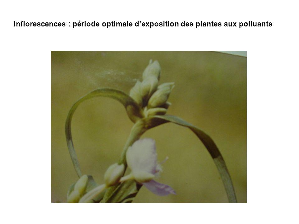 Inflorescences : période optimale dexposition des plantes aux polluants