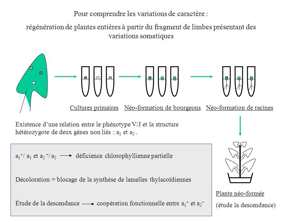 Pour comprendre les variations de caractère : régénération de plantes entières à partir du fragment de limbes présentant des variations somatiques Cul