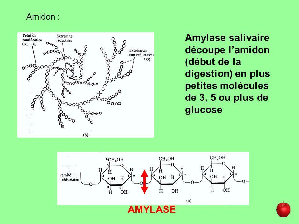 Amidon : AMYLASE Amylase salivaire découpe lamidon (début de la digestion) en plus petites molécules de 3, 5 ou plus de glucose