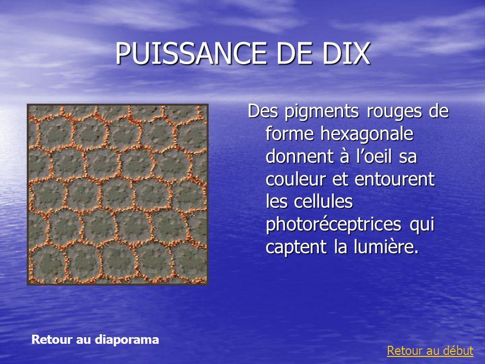 PUISSANCE DE DIX Des pigments rouges de forme hexagonale donnent à loeil sa couleur et entourent les cellules photoréceptrices qui captent la lumière.