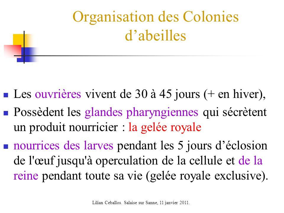Organisation des Colonies dabeilles Les ouvrières vivent de 30 à 45 jours (+ en hiver), Possèdent les glandes pharyngiennes qui sécrètent un produit n