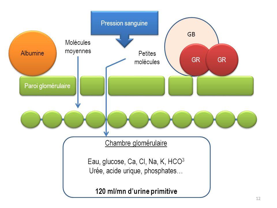 GB Paroi glomérulaire Molécules moyennes Petites molécules GR Chambre glomérulaire Eau, glucose, Ca, Cl, Na, K, HCO 3 Urée, acide urique, phosphates…