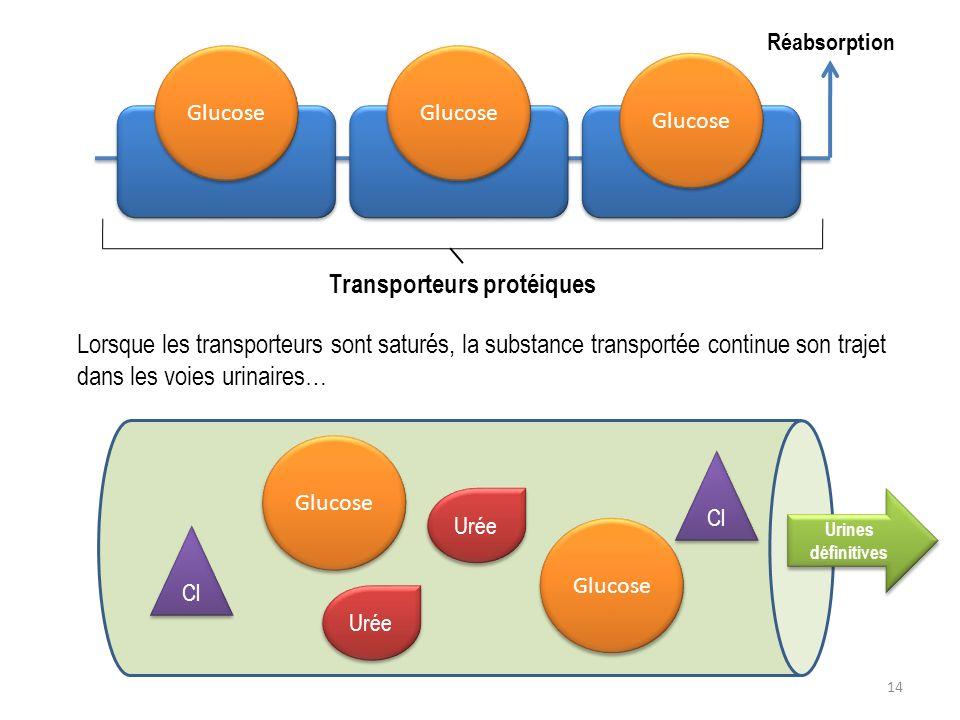 14 Glucose Transporteurs protéiques Glucose Lorsque les transporteurs sont saturés, la substance transportée continue son trajet dans les voies urinai