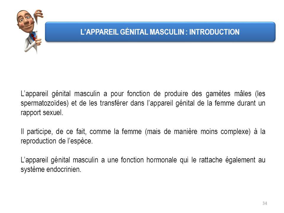 34 Lappareil génital masculin a pour fonction de produire des gamètes mâles (les spermatozoïdes) et de les transférer dans lappareil génital de la fem