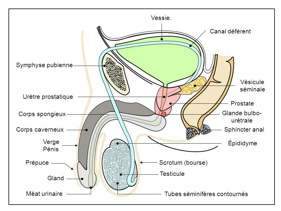 Vessie. Scrotum (bourse) Méat urinaire Verge Pénis Corps caverneux Symphyse pubienne Vésicule séminale Sphincter anal Prostate Urètre prostatique Test