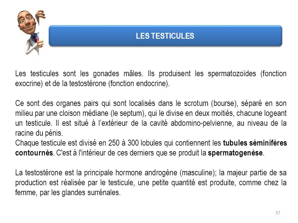 Les testicules sont les gonades mâles. Ils produisent les spermatozoïdes (fonction exocrine) et de la testostérone (fonction endocrine). Ce sont des o