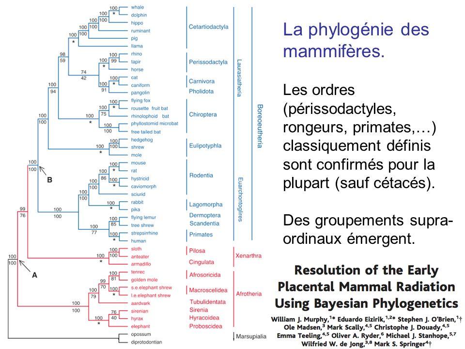 La phylogénie des mammifères. Les ordres (périssodactyles, rongeurs, primates,…) classiquement définis sont confirmés pour la plupart (sauf cétacés).