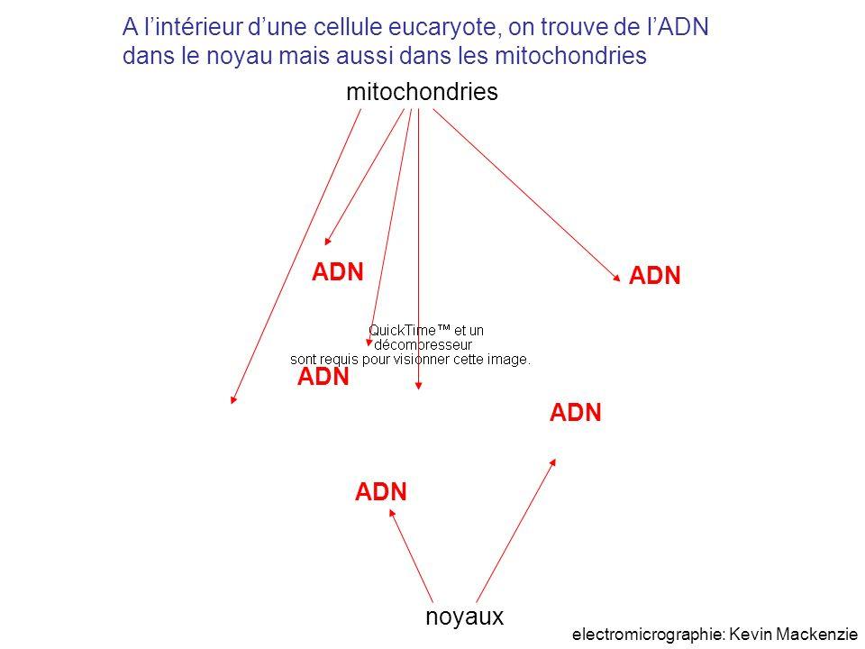 A lintérieur dune cellule eucaryote, on trouve de lADN dans le noyau mais aussi dans les mitochondries ADN noyaux mitochondries electromicrographie: K