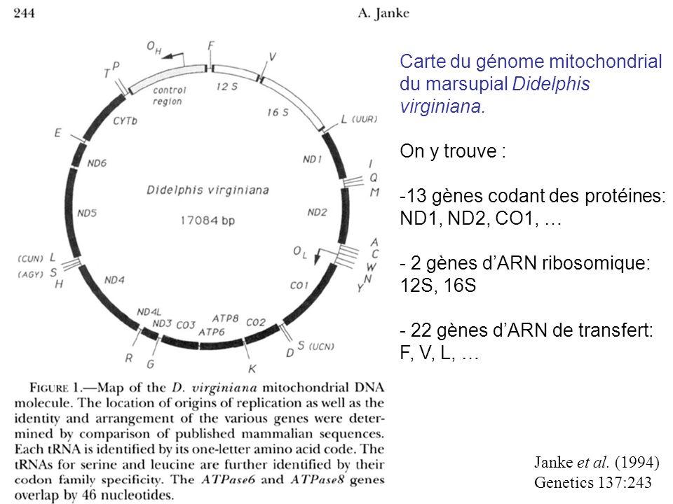 Janke et al. (1994) Genetics 137:243 Carte du génome mitochondrial du marsupial Didelphis virginiana. On y trouve : -13 gènes codant des protéines: ND
