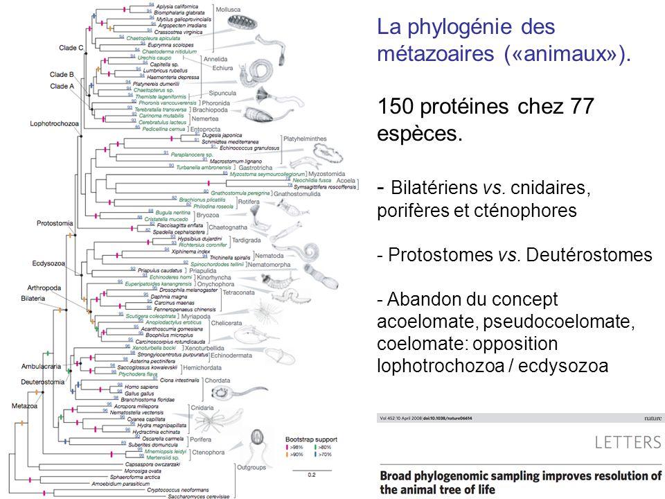 La phylogénie des métazoaires («animaux»). 150 protéines chez 77 espèces. - Bilatériens vs. cnidaires, porifères et cténophores - Protostomes vs. Deut