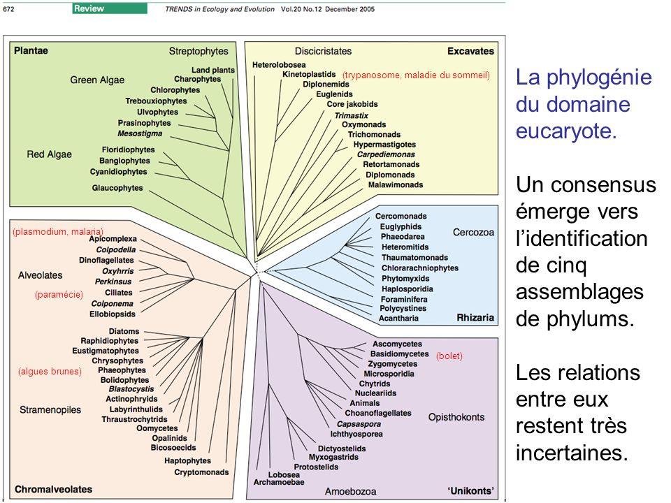 La phylogénie du domaine eucaryote. Un consensus émerge vers lidentification de cinq assemblages de phylums. Les relations entre eux restent très ince
