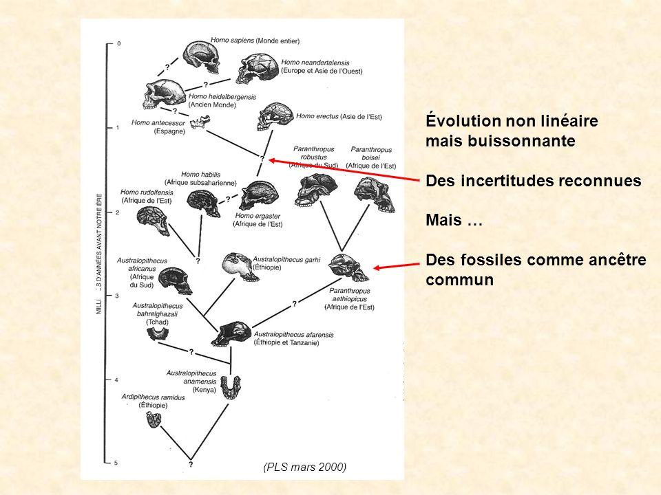 Évolution non linéaire mais buissonnante Des incertitudes reconnues Mais … Des fossiles comme ancêtre commun (PLS mars 2000)